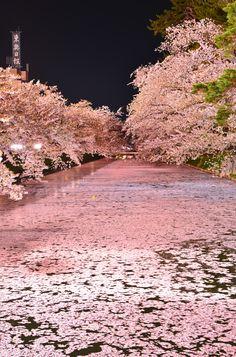 Cherry blossoms float, Hirosaki Castle, Aomori. Japan