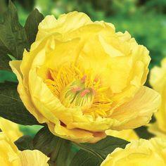 Peony 'Everlasting Treasure' - Cottage Garden Plants - Van Meuwen