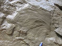 Spotted these lovely ichnofossils this morning in the southern Fort Valley, on Saint David's Church Road.