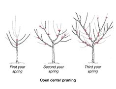 when is a good time to prune citrus trees? Veg Garden, Garden Trees, Edible Garden, Prune Fruit, Pruning Fruit Trees, Apple Tree Pruning, Citrus Trees, Peach Trees, Fuyu Persimmon Tree