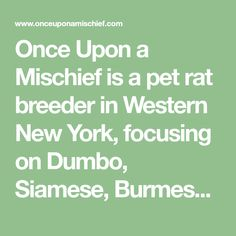 Once Upon a Mischief is a pet rat breeder in Western New York, focusing on Dumbo, Siamese, Burmese, Dwarf, Silvermane, Harley, Marten, Velveteen, Black, Blues