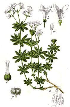 Galium odoratum Sweet Woodruff, Sweetscented bedstraw, Bedstraw