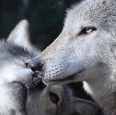 Two Wolves Touching Noses