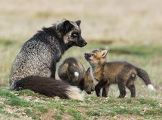 Silver Fox Mom With Kits Photo by Tony Joyce -- National Geographic Your Shot