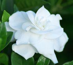 gardenias - Buscar con Google