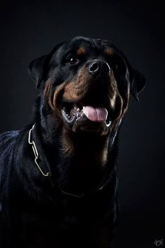 Nice close up of #Rottweiler