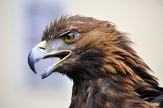 Looks like a Golden Eagle.  These guys take down wolves.  That's right.  Wolves.