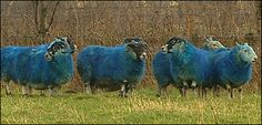 """er who owns the flock, Andrew Jack, coloured the sheep with animal-friendly blue dye as blue is Scotland's national colour. """"They're always a great talking point and we were pleased to help out to celebrate St Andrew's Day,"""" he said. Quiz: St Andrew's day The sheep live in a field near a motorway in West Lothian and Mr Jack said they were making a lot of people smile on their way to work."""