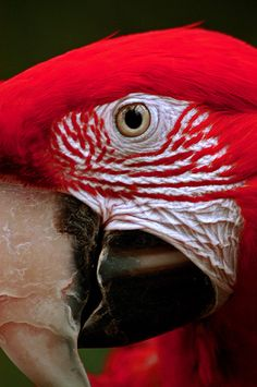 funnywildlife:    Red Parrot x-x LR 9-8-05 J073 by sunspotimages on Flickr.