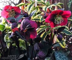 Helleborus 'Anna's Red' Dark purple buds open to reddish-purple flowers on red stems from February to April. The spring foliage is dark green and glossy with the new growth marbled with a silver color. Lenten Rose, Garden Pots, Garden Ideas, New Growth, Winter Garden, Plant Care, Go Outside, Purple Flowers, Welcome
