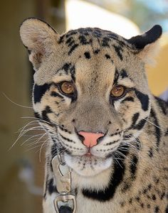 Our handsome clouded leopard ambassador, Haui San. See him impressing guests in our Backstage Pass program.