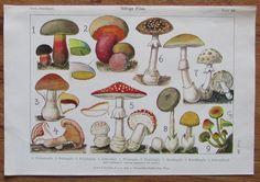 GIFTIGE PILZE 1916 Farbdruck Antique Print Lithographie Botanik