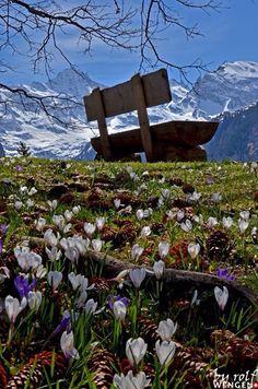 Krokuswiese bei Wengen im Berner Oberland. / Meadow of crocuses near Wengen in the Bernese Oberland. FEWO oder Ferienzimmer zu vermieten in Zürich! >> http://www.imsonnenbuehl.com .