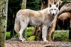 Fox,Foxes-ثعلب