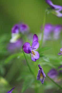 Die 75 besten Bilder von Veilchen | Violets, Sweet violets und ...