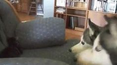 Huskies meet new kitten. - GIF on Imgur