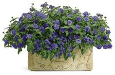Container gardening in the shade can be a bit tricky. This list of blue plants for containers in the shade will have the pots on your patio, walkway or porch looking beautiful all summer long. Blue Plants, Tall Plants, Shade Plants, Planters Shade, Flowering Plants, Window Box Flowers, Shade Flowers, Blue Flowers, Window Boxes