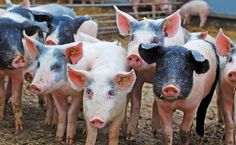 Pennsylvania residents living near pig farms or fields fertilized with pig manure were up to 38 percent more likely to acquire infections of methicillin-resistant Staphylococcus aureus, commonly known as MRSA, according to a new study by researchers from the John Hopkins Bloomberg School of Public Health and Geisinger's Henry Hood Center for Health Research.