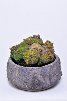 Gymnocalycium quehlianum f. monstrosa