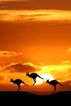 There's something about these three kangaroos jumping in unison in front of the orange sky rising sun that's just peaceful, brings a smile. A silhouette style tri-tone picture taken in ♥ Australia by an Unknown Photographer