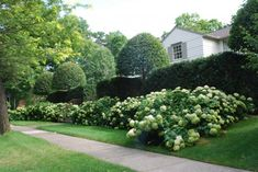 Annabelle hydrangeas are difficult to place in a landscape.  The flower heads are large, and the stems weak. They can provide great structure on a sloped site.  Their large leaves, and extraordinary flower heads can structure a landscape space beautifully, given a proper placement.