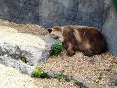 Brown Bear, Animals, Animales, Animaux, Animal, Animais