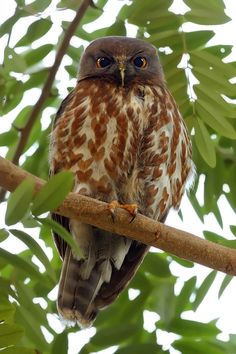 Brown Hawk-Owl (Ninox scutulata) Wood Owls, Owl Photos, Beautiful Owl, Owl Charms, Wise Owl, Birds Eye View, Birds Of Prey, Pet Birds, Nature Photography