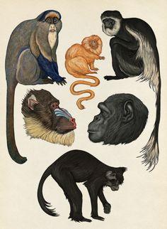 Primates page in Animalium.