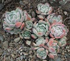 Echeveria Echeveria, Cacti And Succulents, Planting Succulents, Fruit Flowers, Dish Garden, Growing Veggies, Miniature Plants, Diy Garden Projects, Dream Garden
