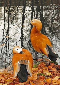Lovely birds on a pond in the autumn! The Ruddy Shelduck, Tadorna ferruginea, is a member of the duck, goose and swan family Anatidae. It is in the shelduck subfamily Tadorninae. Pretty Birds, Beautiful Birds, Animals Beautiful, Cute Animals, Wild Animals, Beautiful Things, All Birds, Love Birds, Tier Fotos
