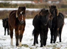 My little pony: But the problem for ponies on Darmoor is that not enough people want, or can afford them. Around 700 of the ponies have been shot in the last 12 months - 100 of which were healthy foals that had not been sold at market due to the recession