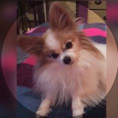 Zora the lil Papillon Animals And Pets, Dogs, Pets, Pet Dogs, Dog, Doggies