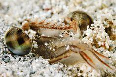 Buried shrimp | Flickr - Photo Sharing!