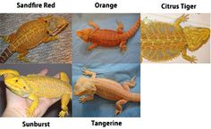 Red / Orange / Yellow Bearded Dragons, types of bearded dragons