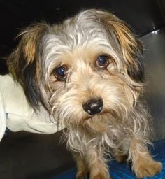 Animal ID 34160085 Species Dog Breed Terrier/Mix Age 2 years 5 days Gender Male Size Small Color Golden Site City of El Paso Animal Services Location Recovery 2 Intake Date Animal Shelter, Animal Rescue, Dead Dog, Kill List, Save Animals, Losing A Pet, Terrier Mix, Animal Rights, Puppys