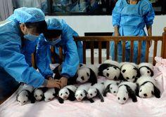 Des bébés pandas sont présentés à la presse àla base de recherche de Chengdupour la reproduction des pandas géants, dans la province du Si...