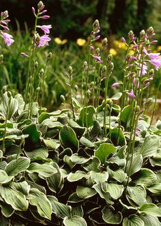 Hostas=easy shade lovers! Also perennials, and mine appear to be peaking through for a second year along the Wasatch front in Utah!