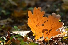 Autumn leaf color is a phenomenon that affects the normally green leaves of many deciduous trees and shrubs by which they take on, during a few weeks in the autumn season, various shades of red, yellow, purple, and brown. Autumn Leaf Color, Autumn Leaves, Deciduous Trees, Trees And Shrubs, Shades Of Red, Fall Season, Green Leaves, Seasons, Yellow