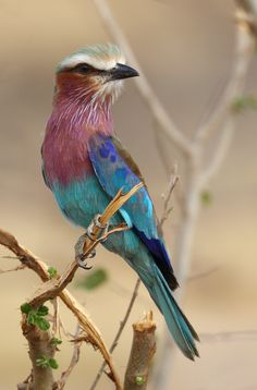 https://flic.kr/p/BZDsgw | On The Lookout | ... for peaceful and happy holidays ! HBW ! Lilac-breasted Roller / Gabelracke Gabelrake (Coracias caudata) Tarangire N.P., Tanzania, Africa