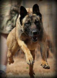 Valerie is a 22 months old female Malinois. She is certified through Eastern States in detection and Tracking. Very healthy    $4,500