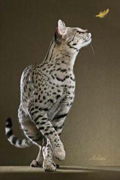 Motzie - a special Savannah cat - photo copyright Helmi Flick -- a service cat to a war vet!