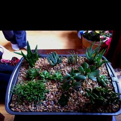 Succulent garden for wardian case at sisters house