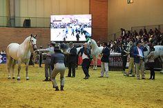 sicab 2014 - Buscar con Google   Salón Internacional del Caballo -  Sevilla   -  Pura raza española