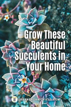 How to care for ghost succulent plants (science name: Graptopetalum). There are several varieties and types of Graptopetalum succulents. Our post describes how to care grow Graptopetalum… More