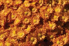 We Love 'Pumpkin Igloo' Mum Fall Plants, Foliage Plants, Garden Plants, Garden Mum, Purple Garden, Love S, Our Love, Fall Flowers, Daisy Flowers