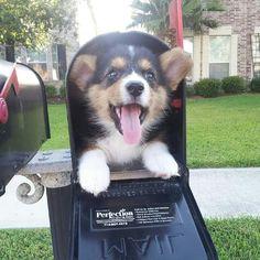 AHHH. Corgi in a mailbox. loves.