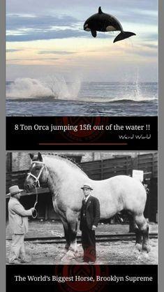 Big Horses, World's Biggest, Weird World, Water, Animals, Weird, World, Gripe Water, Animales
