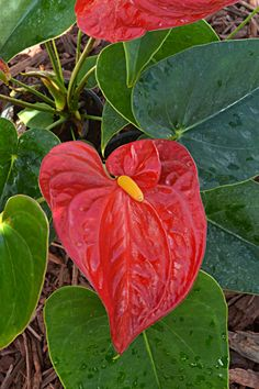 Anthurium is a great indoor flower. Tips for growing tropical plants indoors.