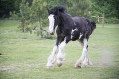 Clydesdale horse - The sound of thundering hooves.