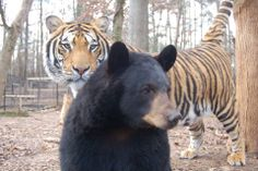 Doc, #Tiger & Little Anne, #Bear just hanging out on this nice #TigerTuesday      www.Noahs-Ark.org